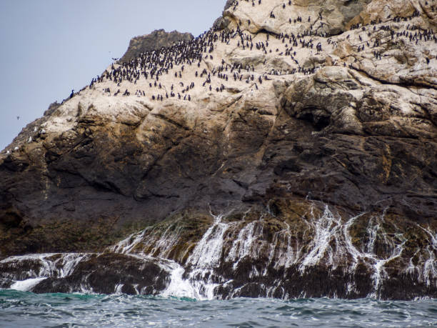 farallon islands view, birds nesting on rocky shore - wildlife reserve stock pictures, royalty-free photos & images