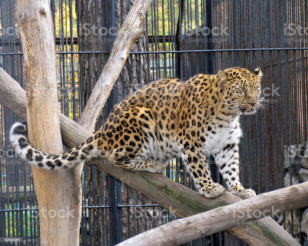 Far-Eastern leopard royalty-free stock photo