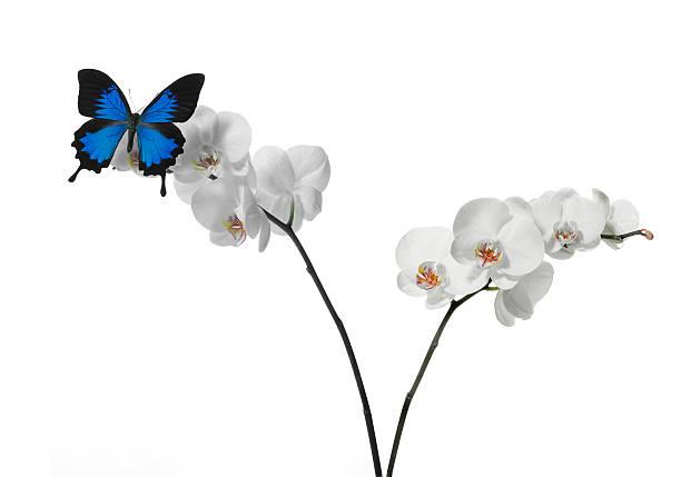 Farfalla con orchidea picture id96898248?b=1&k=6&m=96898248&s=612x612&w=0&h=09iqniyivfpraqpd7zgfsuhd5pqc xhnupulhtp5 c4=