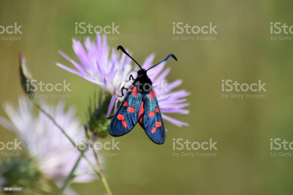 Farfalla Tyria royalty-free stock photo