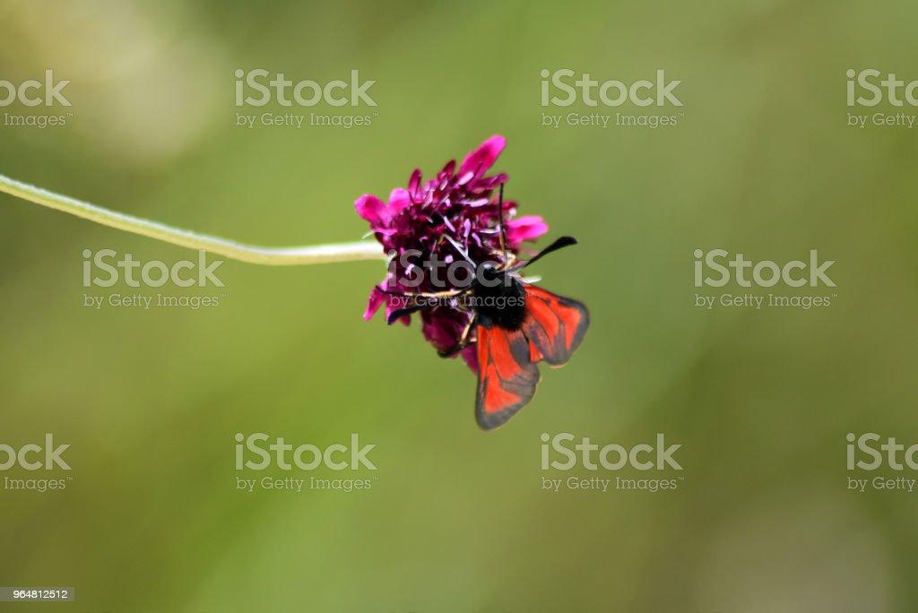 Farfalla Zygaena royalty-free stock photo