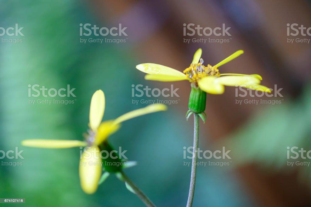 Farfugium japonicum royalty-free stock photo