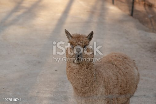 Farm animal fluffy lovely Alpaca pet smiling to camera