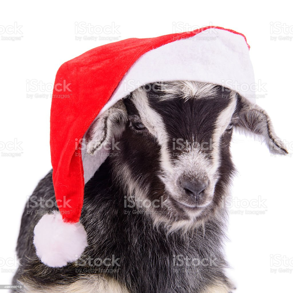 farm animal goat isolated stock photo
