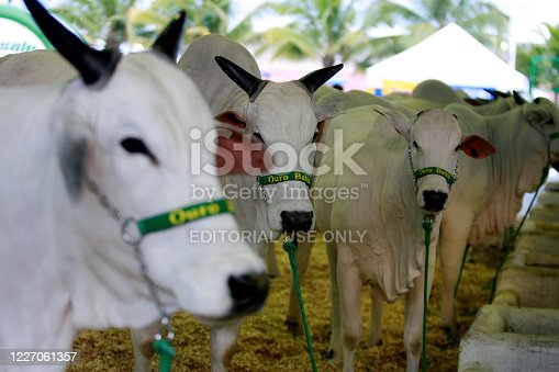salvador, bahia / brazil - december 3, 2014: Nelore cattle are seen at the Salvador City Exhibition Park during during Farming Exhibition.