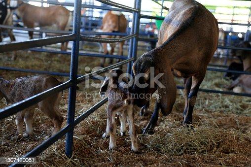 istock farm animal husbandry 1307420051