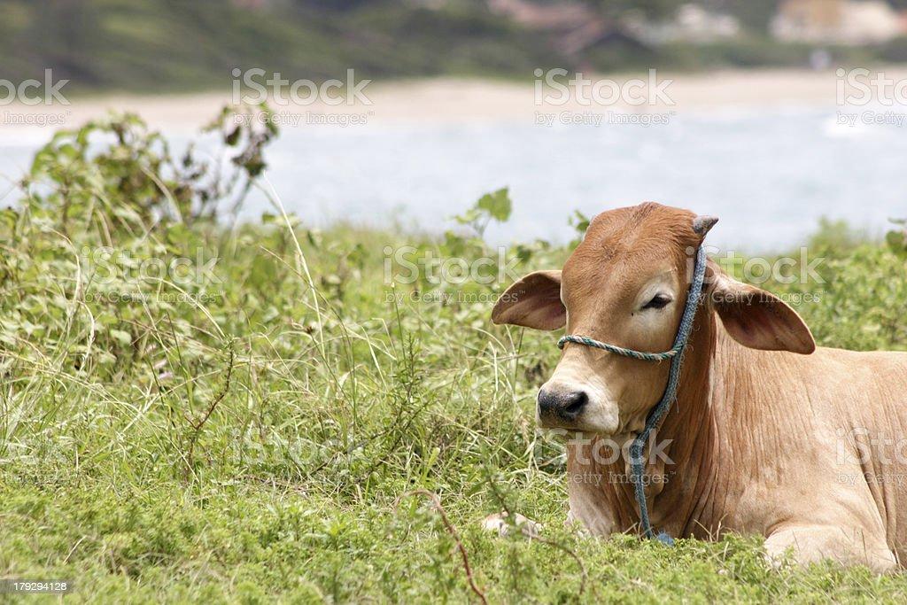 Farm animal royalty-free stock photo