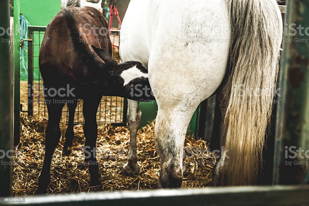 Farm animals. White horse with suckling foal