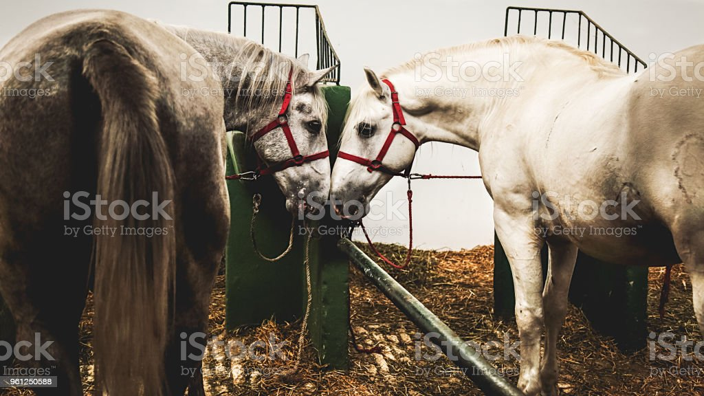 Farm animals. Pair of white horses at stable.