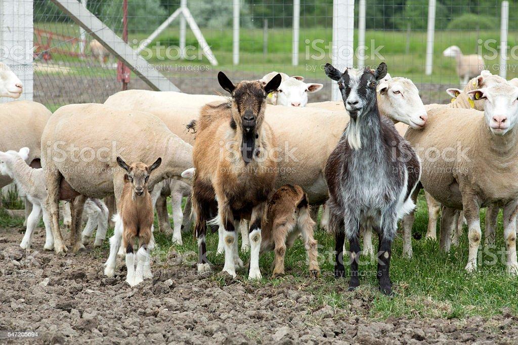 Animais de fazenda. - foto de acervo