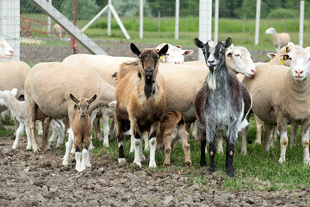 Farm animals. stock photo