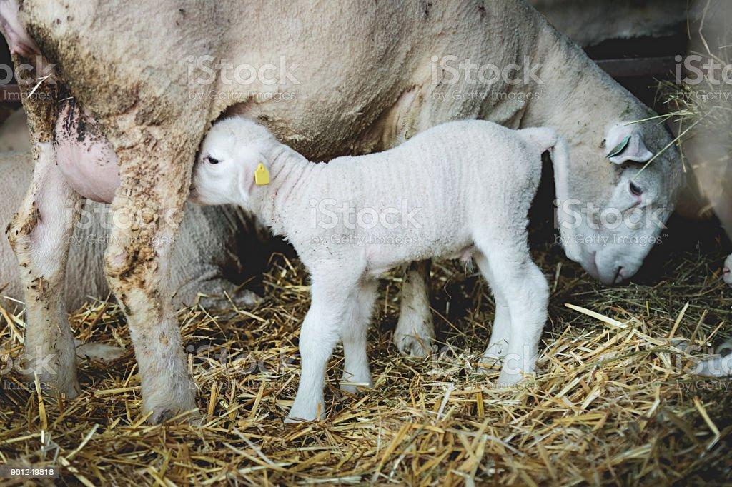 Animales de granja ovejas y cordero - foto de stock