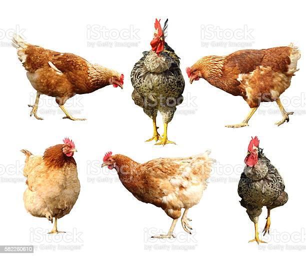 Farm birds on white picture id582260610?b=1&k=6&m=582260610&s=612x612&h=lzswtt6lge9tte52z0kurjccfjuk1fhdjffbmoimsho=