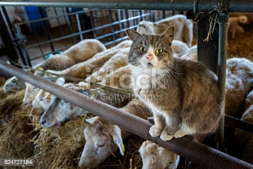 Protective young farm cat striking a pose for the camera whilst he guards a group of sheep in his barn. Photographed on a small farm on the island of Møn in Denmark. Colour horizontal format looking down at he cat who is sat on the narrow bar that is part of the animal  pen whilst the sheep eat away on some hay in the background.