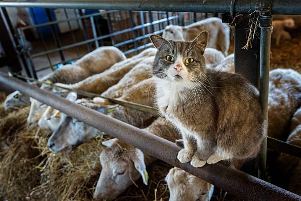 Farm Cat Guarding The Sheep. stock photo