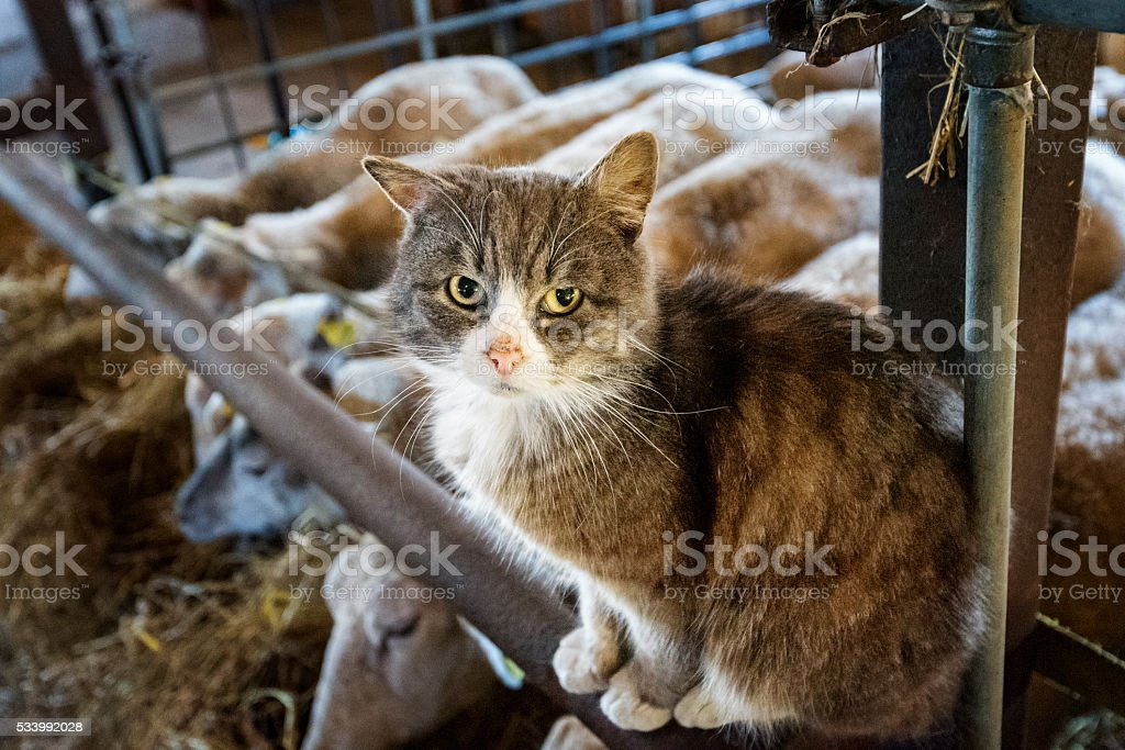 Farm Cat Guarding The Sheep. stock photo