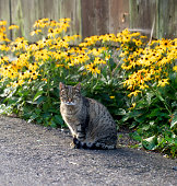 Tabby cat standing in front of yellow flowers.