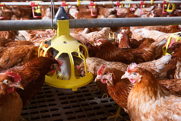 Farm chicken in a barn, eating from an automatic feeder Farm chicken in a barn, eating from an automatic feeder. Animal abuse, living in captivity, food production and industry concept. poultry stock pictures, royalty-free photos & images