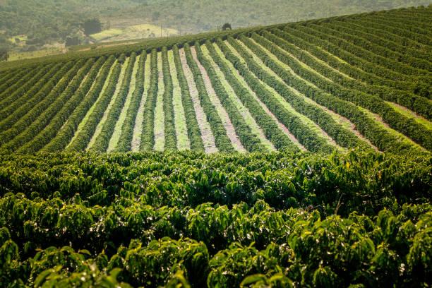 boerderij koffieplantage in brazilië - plantage stockfoto's en -beelden