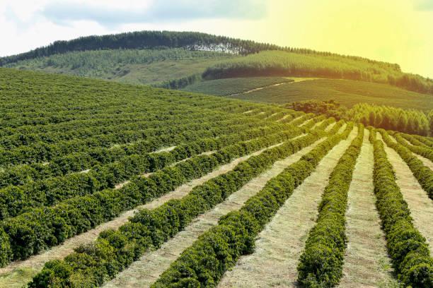 Farm coffee plantation in brazil picture id938716300?b=1&k=6&m=938716300&s=612x612&w=0&h=d audndvjp3fzua4cvzskkvccwrv3yddyh973esyyrm=