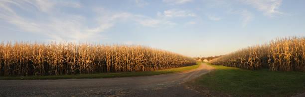 Farm corn panoramic stock photo