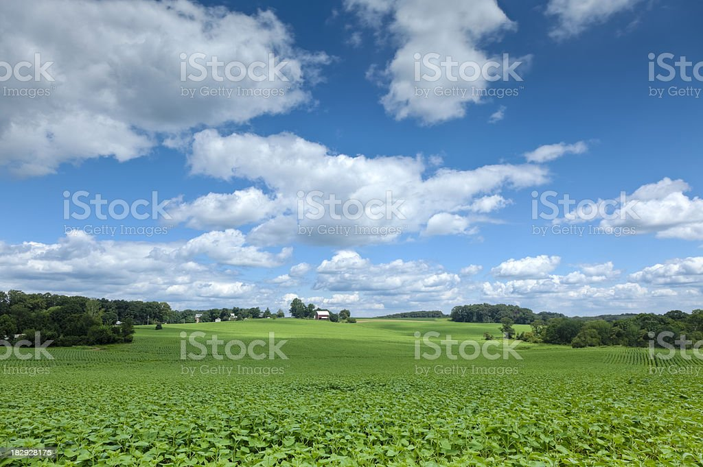 Farm Country View Across Massive Field of Budding Sunflowers stock photo