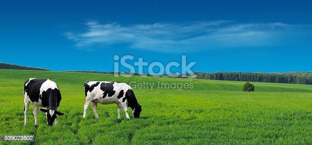 istock Farm cows grazing in a summer meadow. 539023802