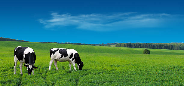 Farm cows grazing in a summer meadow. stock photo