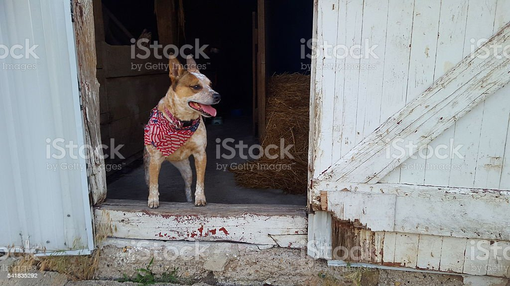 Farm Dog Stands in Barn stock photo