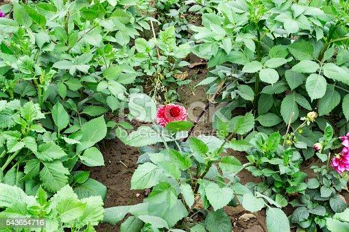 Farm field of dahila green plants and red flowers.
