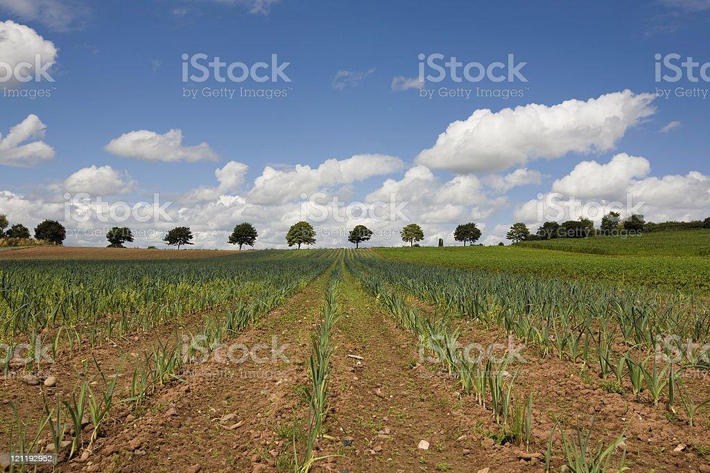 Farm:  field of onion plants royalty-free stock photo
