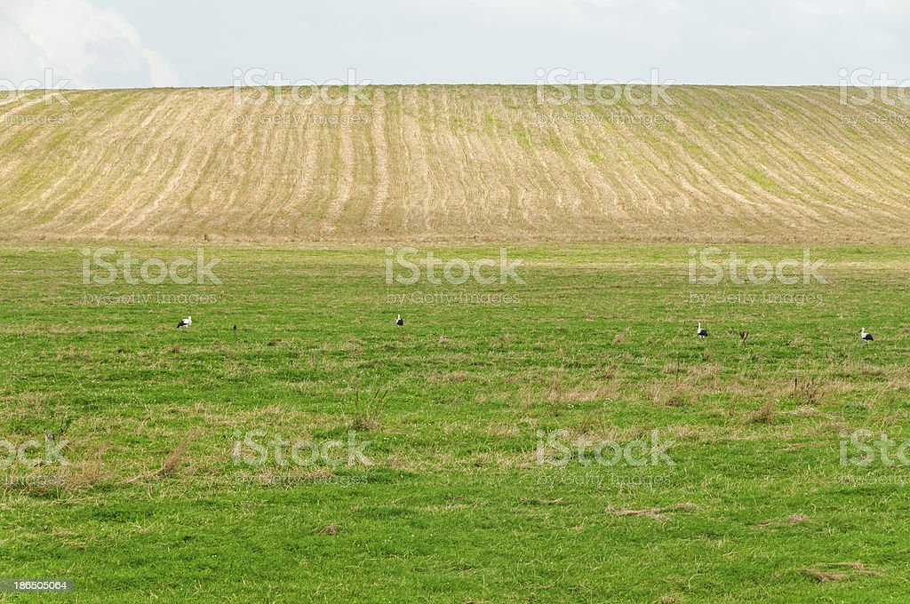 Farm field with white storks walking on sunny meadow royalty-free stock photo