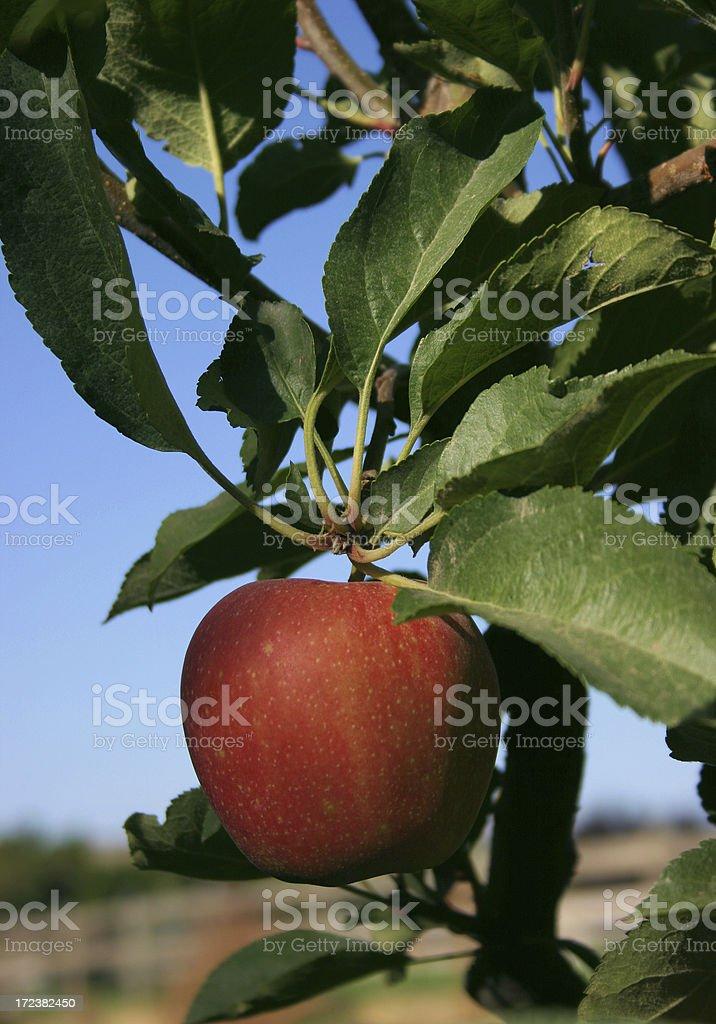 Farm fresh apple stock photo