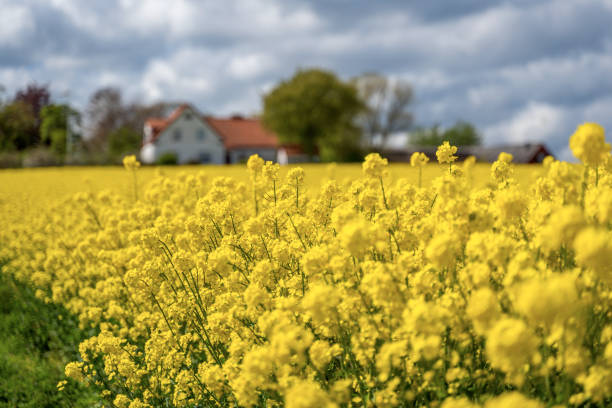 Farm house in the middle of farmland and fields, selective focuse Farm house in the middle of farmland and fields, selective focuse canola stock pictures, royalty-free photos & images