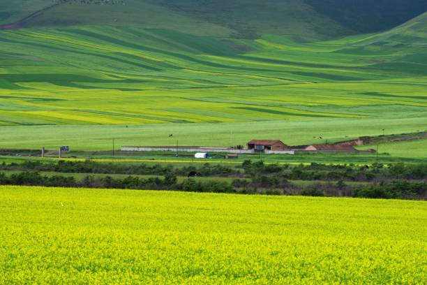 Surrounded By Canoloa Feilds Quotes: Top 60 Qinghai Province Stock Photos, Pictures, And Images
