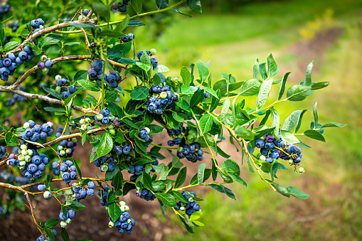 Farm in summer garden and closeup of blueberry bush for picking with many ripe hanging cluster of fruit texture and blurry background