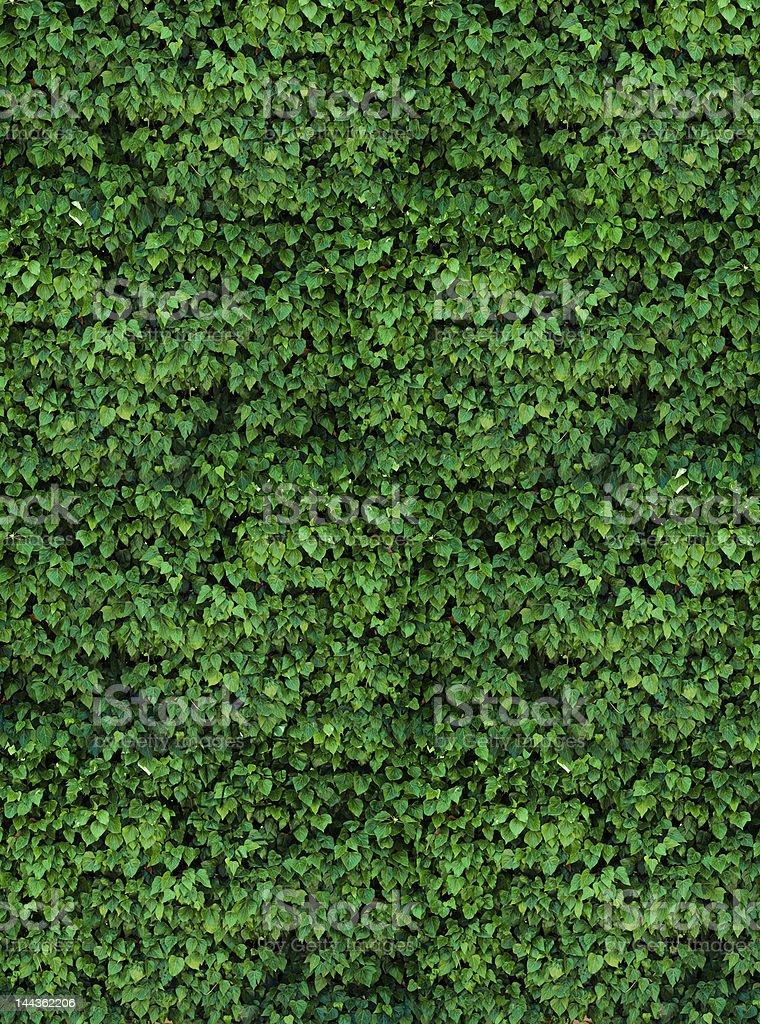 farm ivy wall stock photo