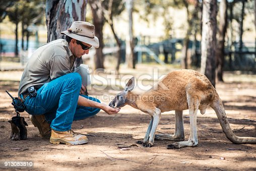 Kangaroo is eating out of a zoo keeper's hand