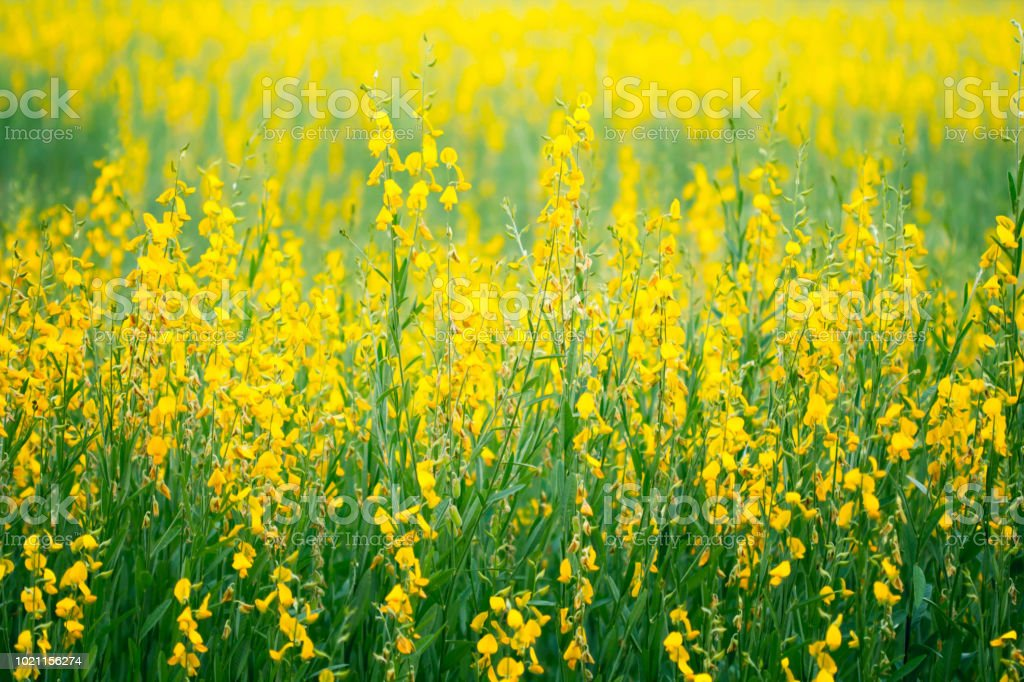 Farm of crotalaria yellow flower agriculture beautiful background farm of crotalaria yellow flower agriculture beautiful background royalty free stock photo mightylinksfo
