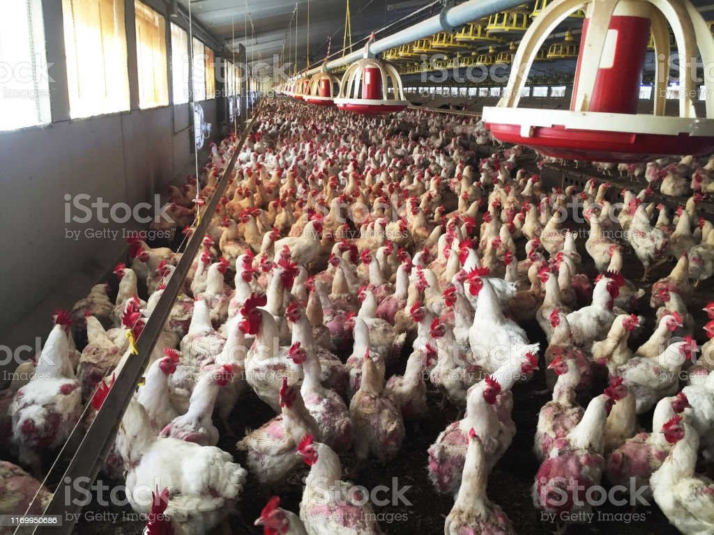Farm of hens and roosters destined to the production of fertilized eggs to give broilers - Foto stock royalty-free di Abbondanza