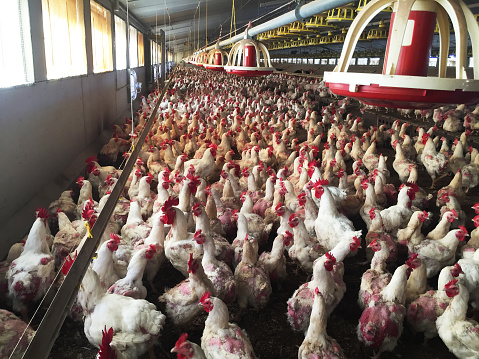 Farm Of Hens And Roosters Destined To The Production Of Fertilized Eggs To Give Broilers - Fotografie stock e altre immagini di Abbondanza