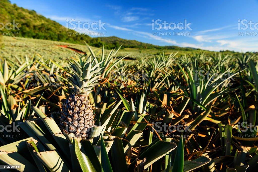 Farm of Pineapple tropical fruit in Hua Hin, Thailand – Foto