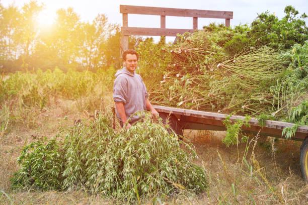 Hofbesitzer ernten Hanfpflanzen – Foto