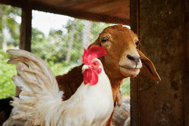 farm - farm animals stock photos and pictures