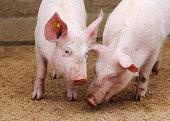 Farm pigs in sty