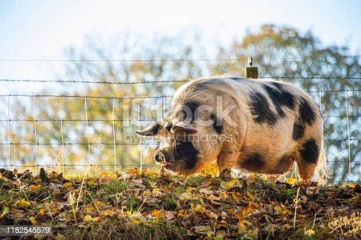 Scotland, farm pigs rooting in autumn leaves.
