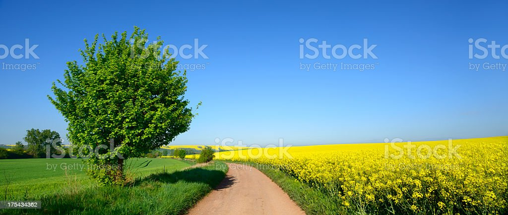 Farm Road through Canola Fields in Spring Landscape royalty-free stock photo