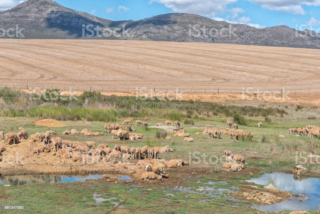 Farm scene with sheep in a boggy field stock photo