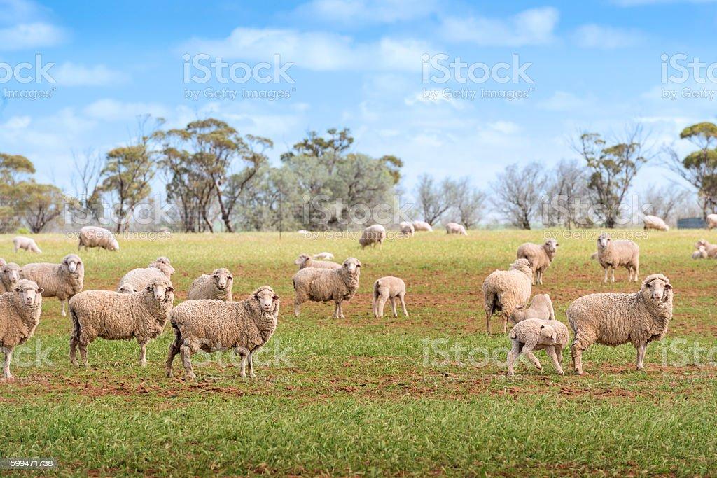 Farm Sheeps Grazing stock photo