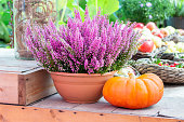 Farm still life, flowering heather bush in a pot and a large ripe orange pumpkin. Erica heather blooms in vibrant pink colors, harvest holiday decoration